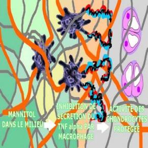 Et oui ! le mannitol réduit la sécrétion de TNF-α